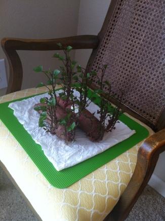 how to grow a sweet potato indoors